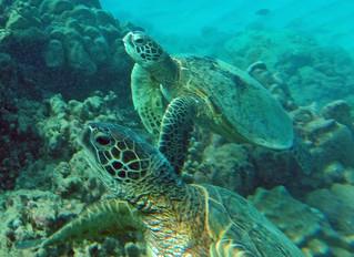 Hanuma Bay Hawaii Turtles