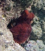 Hanauma Bay octopus
