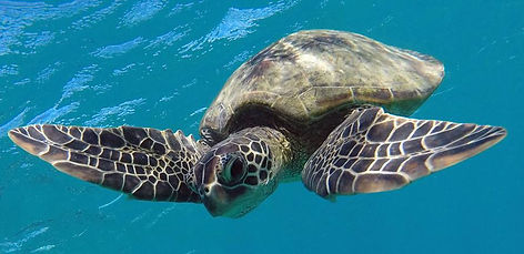 Hanauma Bay green sea turtle - honu