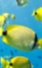 Millet seed butterfly fish