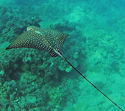 Hanauma Bay spotted eagle ray