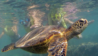 Hanauma Bay Snorkel Tour Turtle