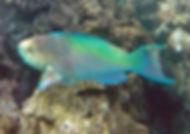 Hanauma Bay parrot fish