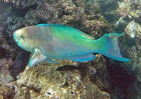 Hanauma Bay parrot fish -uhu