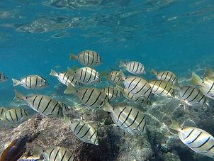 Hanauma Bay manini fish