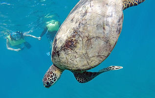 Turtle on snorkel tour