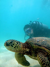 Hanauma Bay Scuba Turtle