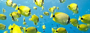 Milletseed butterfly fish