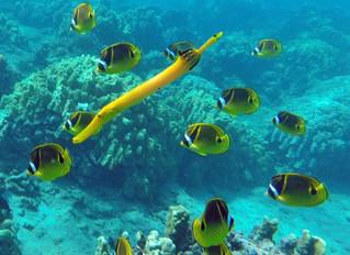 Hawaii Trumpet Fish