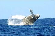 Hawaii whale