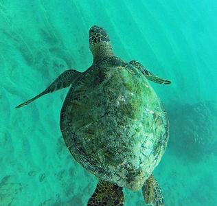 Hawaii Turtle Snorkel Tour