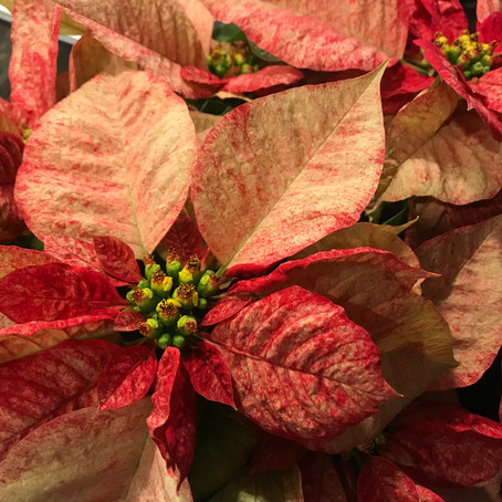 Happy National Poinsettia Day!!