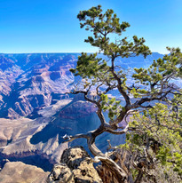 Grand Canyon Lone Tree Photography by Virginia Crowe