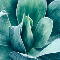 Succulent Photography by Virginia Crowe