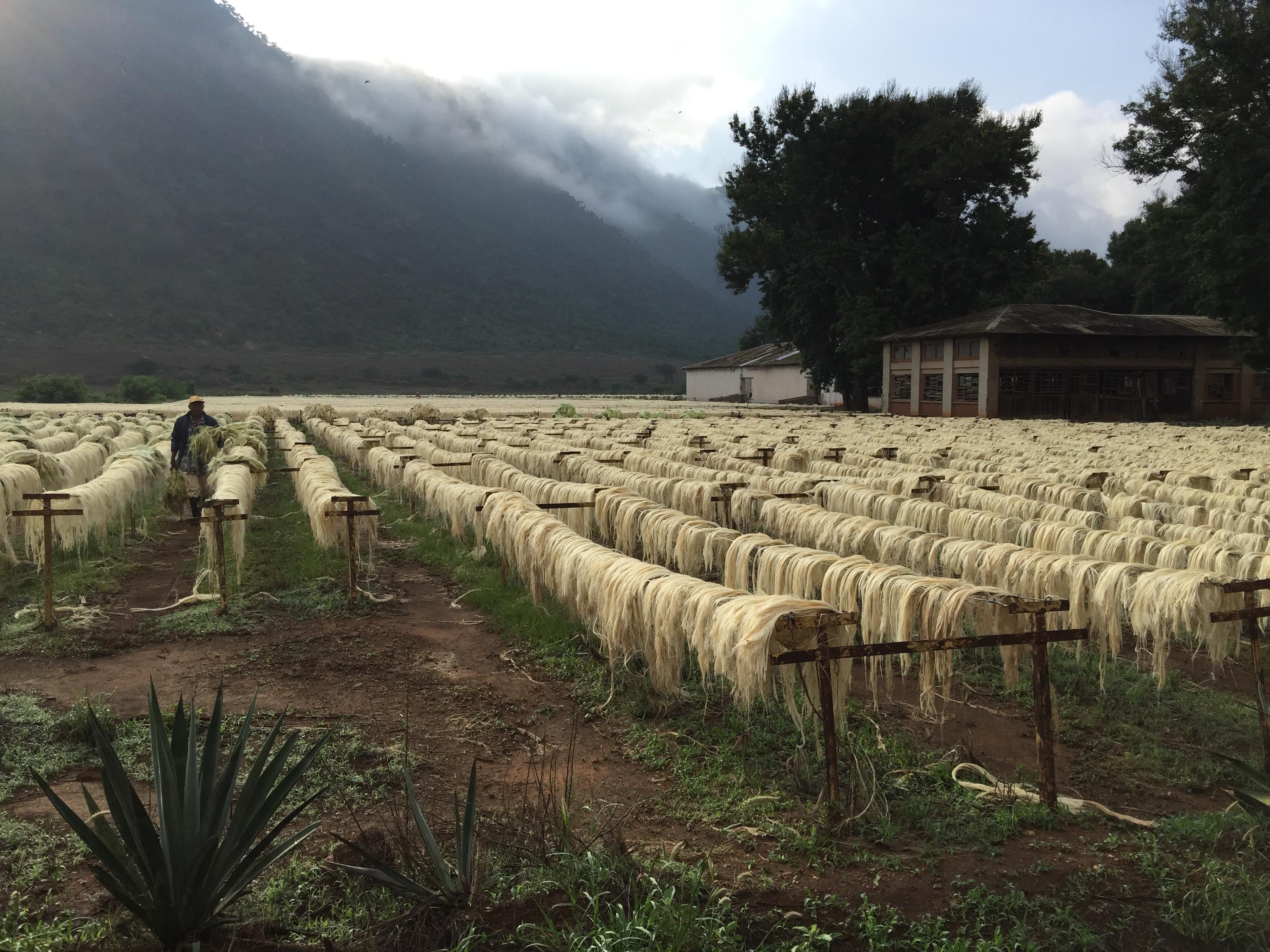 Sisal Farms, Suji, Tanzania