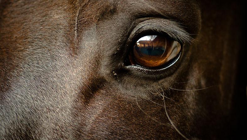 Eye of a black horse.jpg