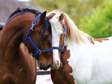 Onze paarden zijn geen steppedieren meer.