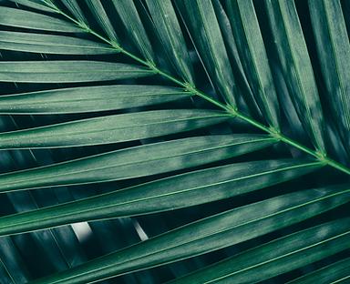 Close-up of palm tree leaf.