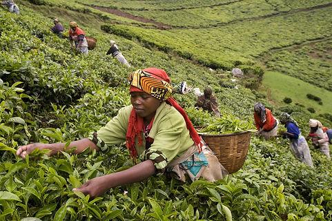 rwanda TEA FIELDS.jpg