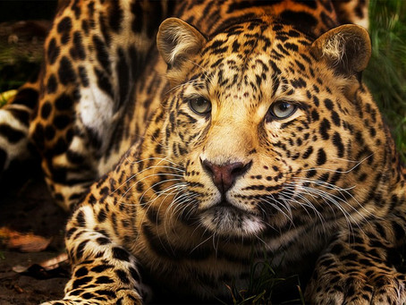 WALK ON THE WILD SIDE: King of the Jungle