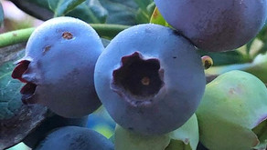 Grow Your Own Blueberries. Here's How