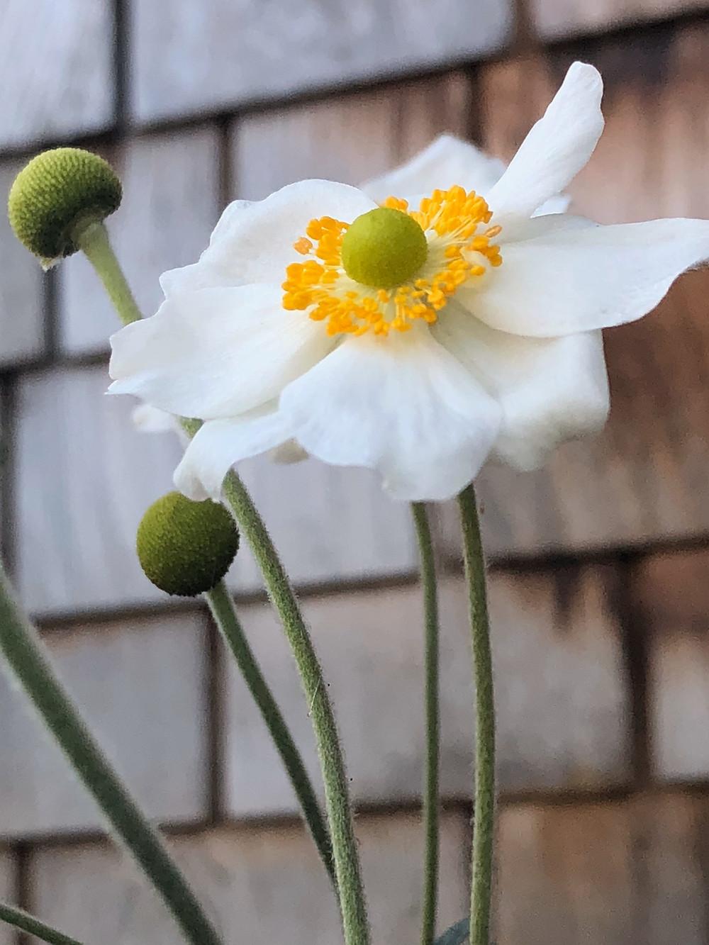 Japanese Anemone, 'Honorine Jobert'