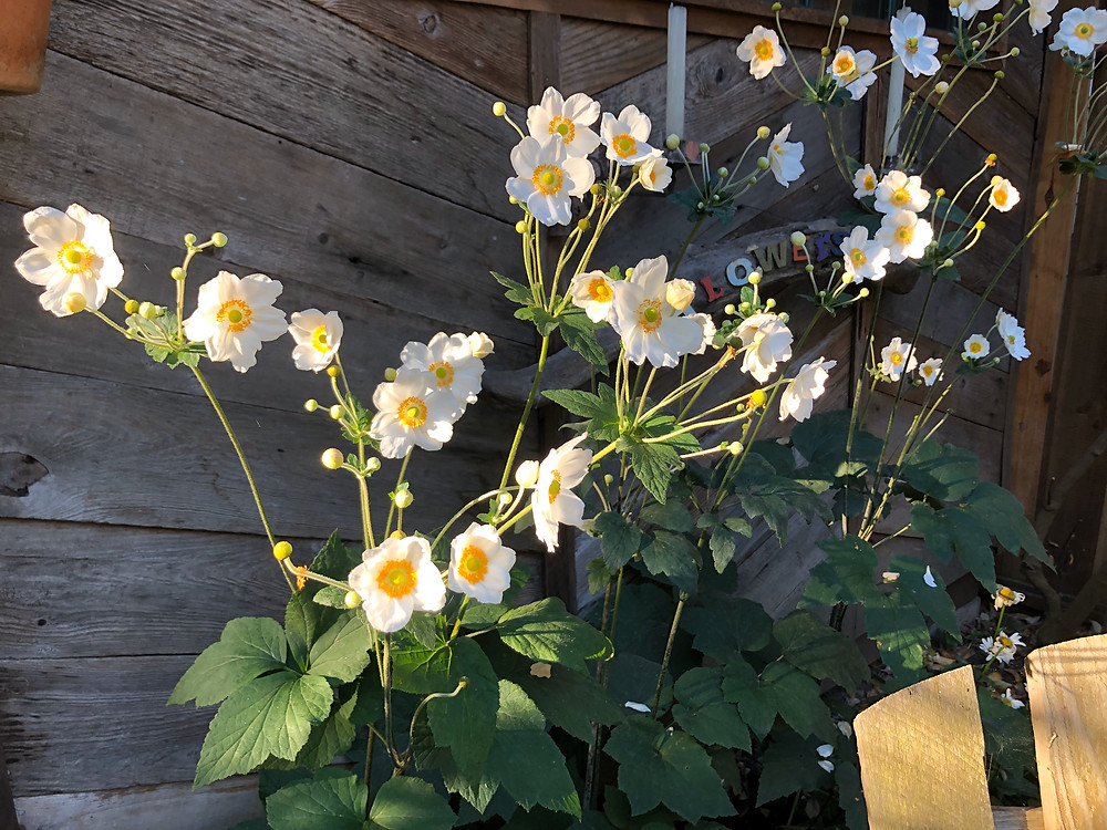 A wonderful patch of white Japanese Anemones catching the morning light in our garden.