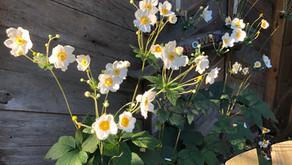 Growing Japanese Anemones