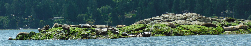 So many Harbour Seals