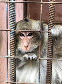 Macaco sin compañia en minizoo de Ciego de Avila