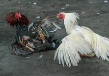 Peleas de gallos en Alcona