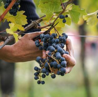 Weinlese von Hand, Leseschere, Premiumwein, vollreife Trauben