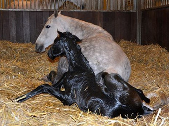 Deux nouvelles naissances au Haras de Niaster