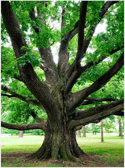 oaktree-1