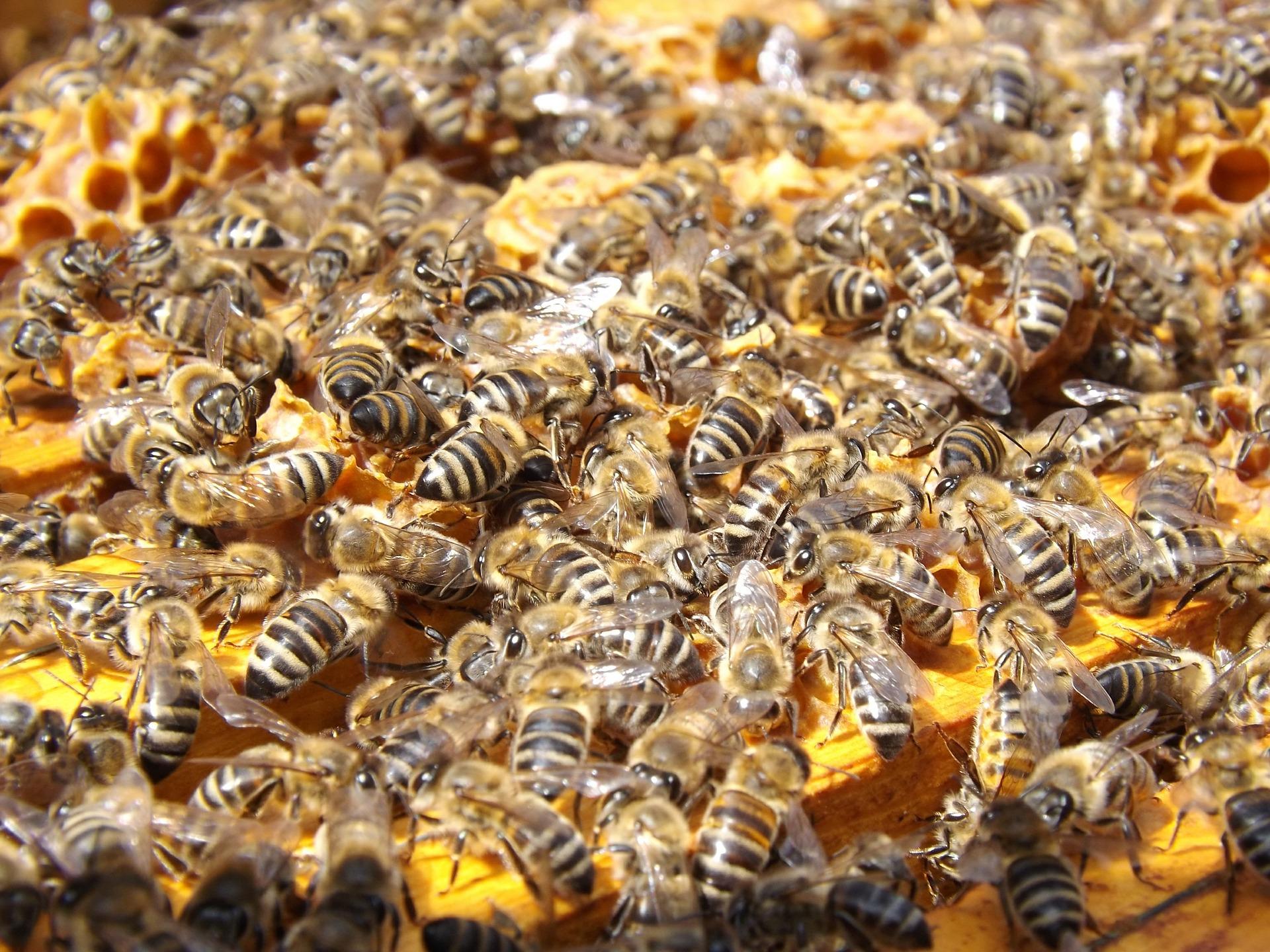 abelha  5