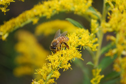 abelha 1
