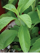 Picture of Stevia Plant 2019 06 19.png