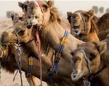Camels_edited_edited.jpg