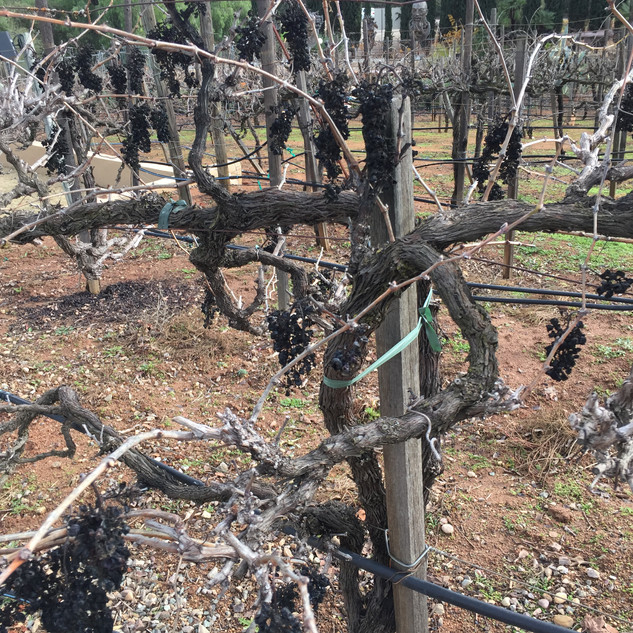 Ancient Vines