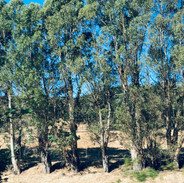 Eucalyptus at Wine Cave