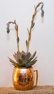 Moscow Mule succulent