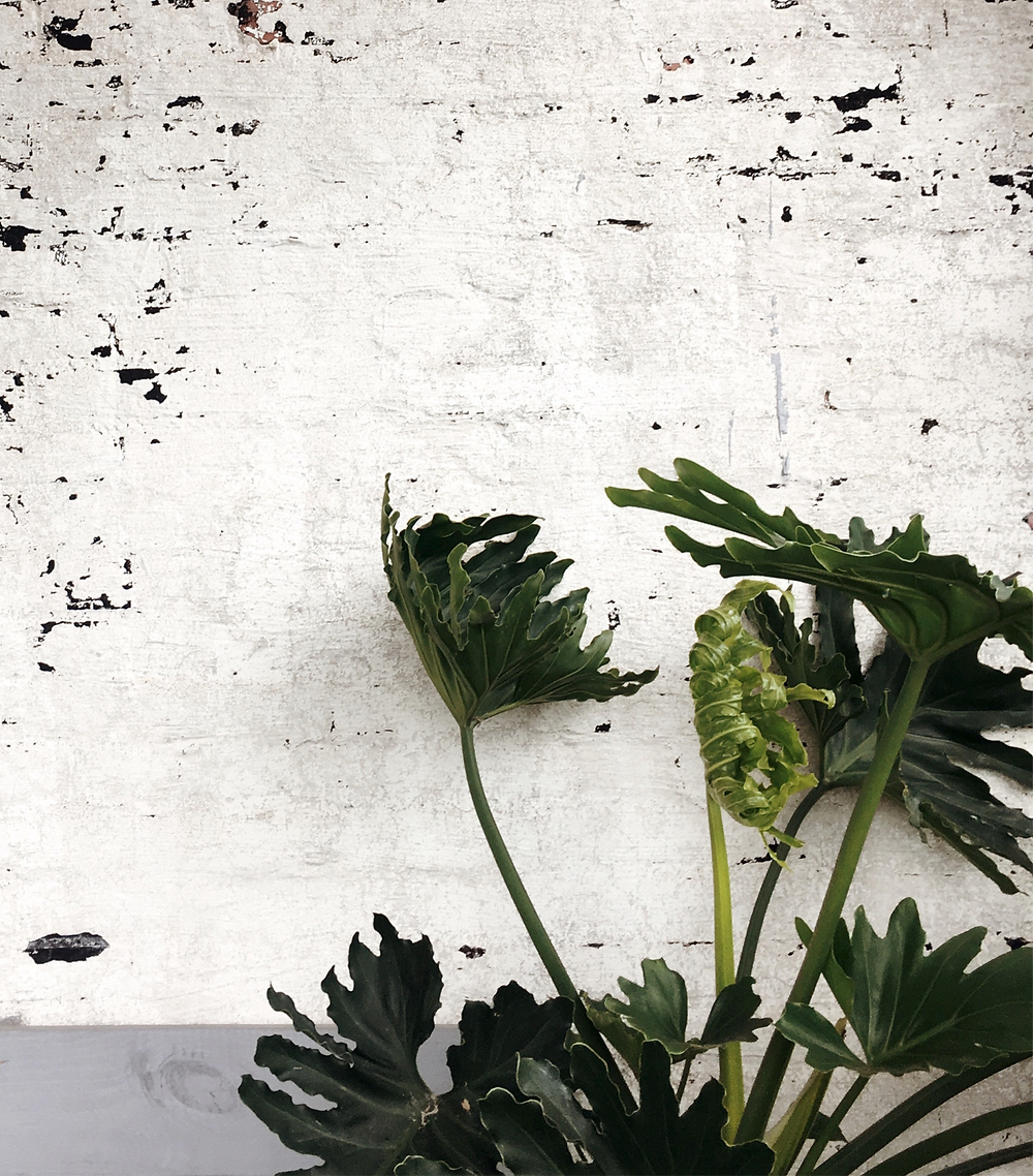 Large leafy tropical plant stretching out with a worn white painted brick wall behind it.
