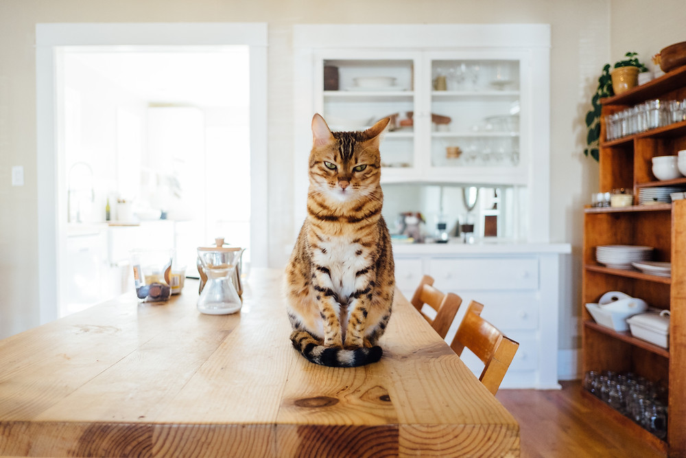 Beautiful cat looking irked and avoiding eye contact while perched on dining room table.