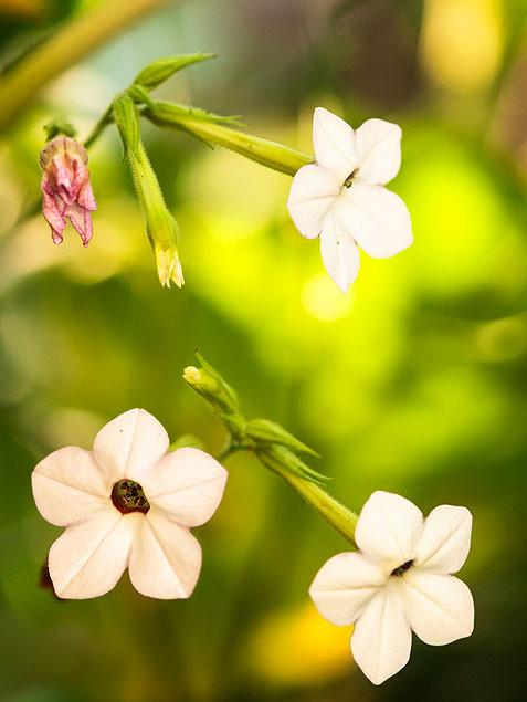 La flor del tabaco
