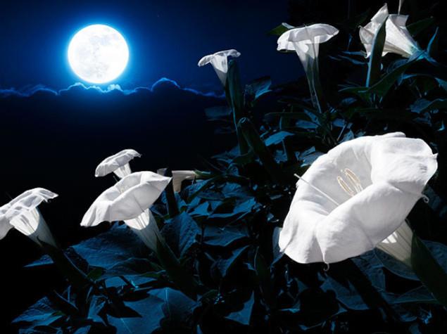 Campanilla blanca