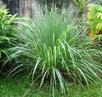 Para el veranito, cinco plantas anti mosquitos