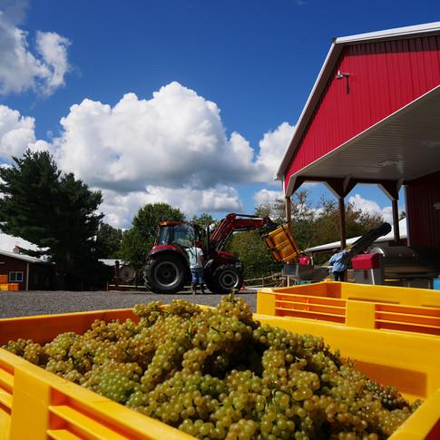 Robn Hill 2017 Chardonel Harvest