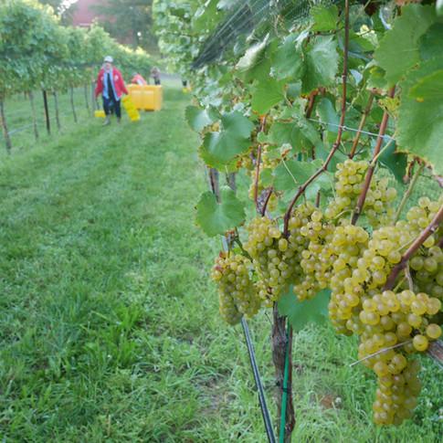 Robin Hill Chardonel 2017 Harvest