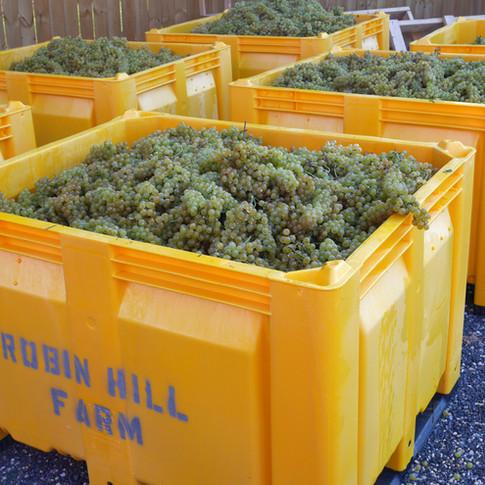 Robin Hill 2017 Chardonel Harvest