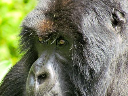 In The Midst of Gorillas
